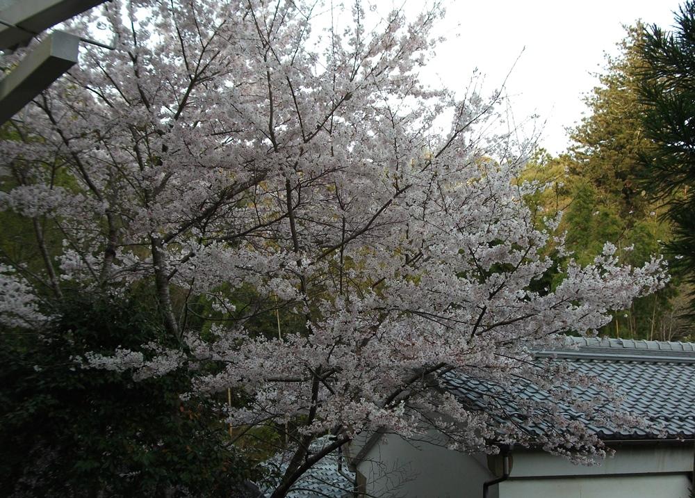 sakura1016024