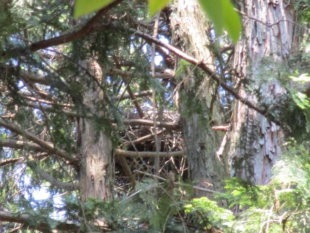 オオタカ営巣